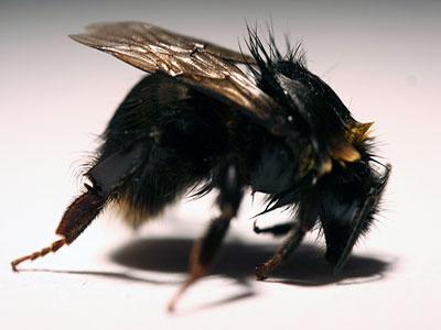 Poisoned Bee