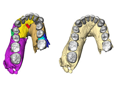 Computer visualization of the lower jaw of Olduvai Hominid 7