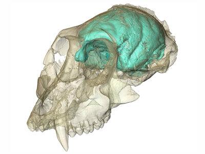 Brain of Victoriapithecus