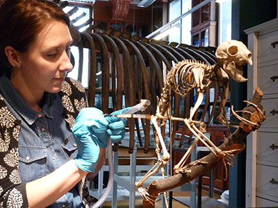 UCL Museums Conservator working on an aye-aye skeleton (Courtesy of Grant Museum of Zoology at UCL)